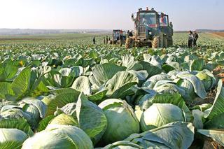На Ставрополье приступили к уборке овощей