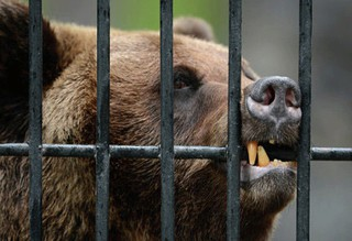 Полиция проверит информацию о медведе в клетке на базе отдыха под Пятигорском