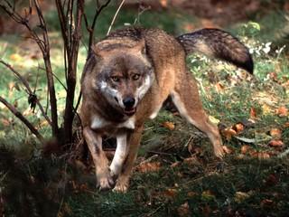 Волки напали на четырех жителей ставропольского села