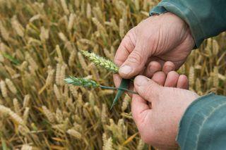 На востоке Ставрополья болезнь зерновых угрожает потерей до половины урожая