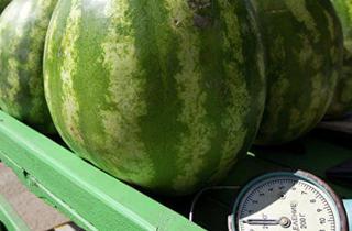 В Пятигорске на свалку отправили сотни килограммов дынь и арбузов