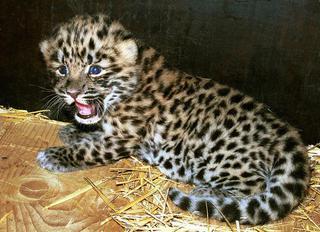 Прокуратура Ставрополья пресекла торговлю краснокнижными леопардами в интернете