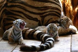 В ессентукском зоопарке у тигрицы родилась четверня