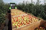 Новости: Яблоки
