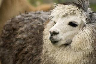 В пятигорском зоопарке поселилась экзотическая альпака