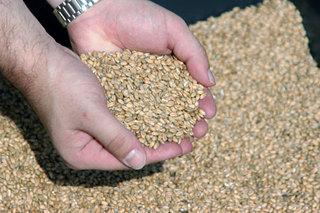 На Ставрополье мошенник вывез и продал 53 тонны пшеницы